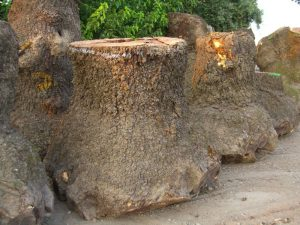 walnut burls-4