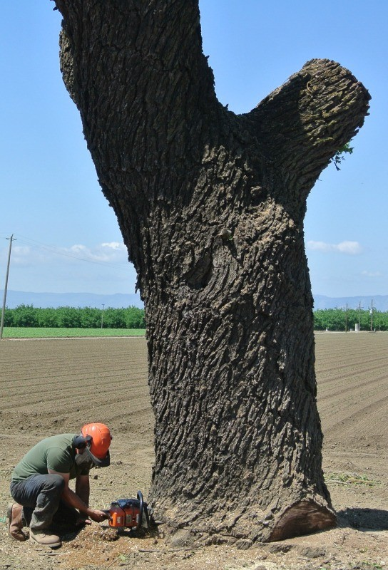 Removing A Large Dead Walnut Tree 49 Quot Wide By 10 Tall