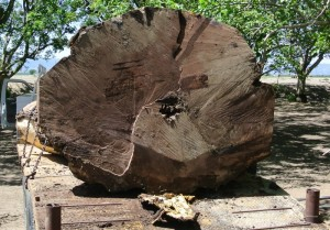 walnut salvage huge log-4