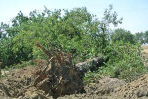 pecan log salvaged