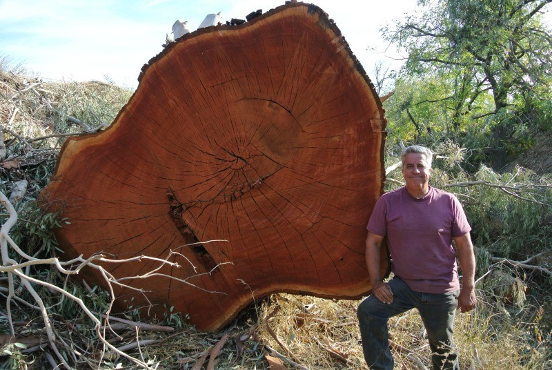 Harvesting A Huge 120 Tall By 20 Around Red Gum