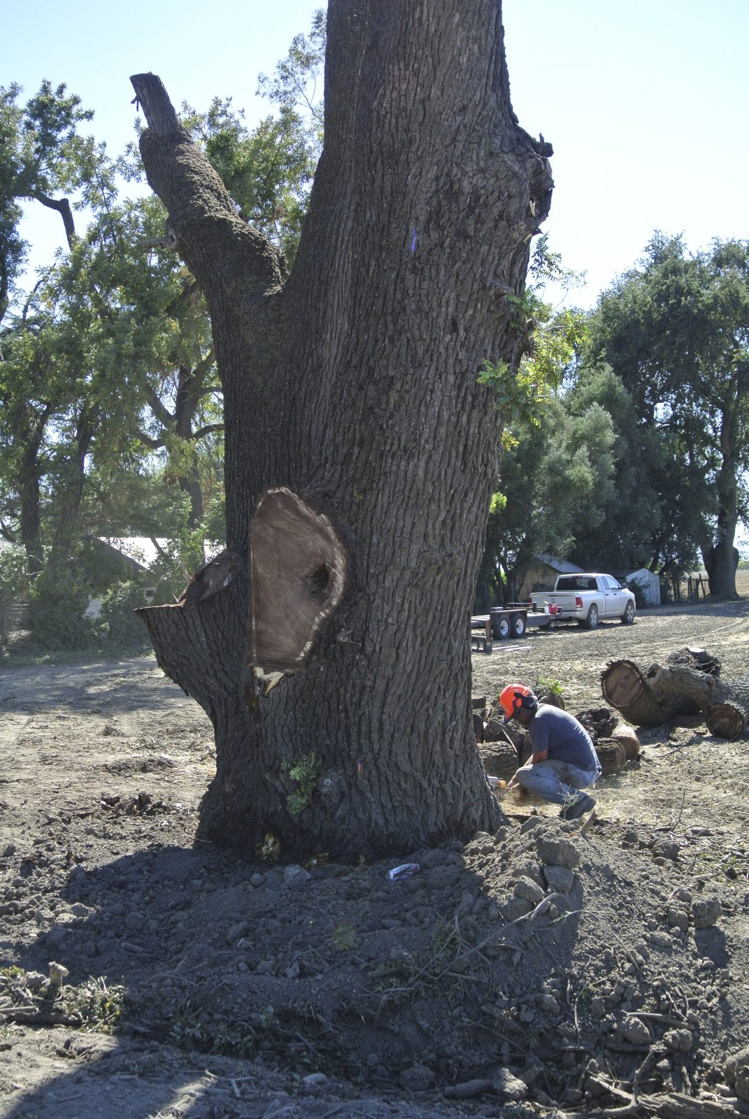Saving A Large Black Walnut Tree From The Chipper