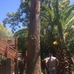 Saving a Large Dead Red Elm Tree from Downtown Sacramento