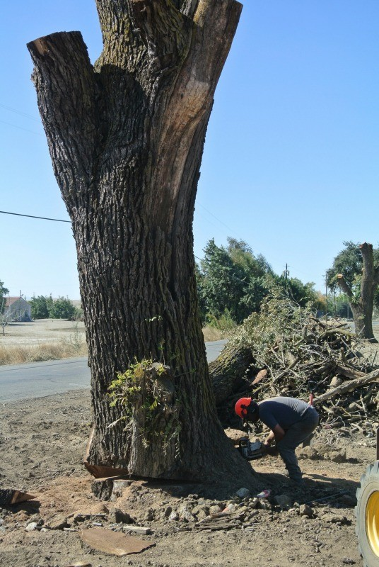 Saving 4 Large Claro and Black Walnut Trees From the