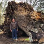 Saving a Huge California Grafted Black/English Walnut Orchard Tree