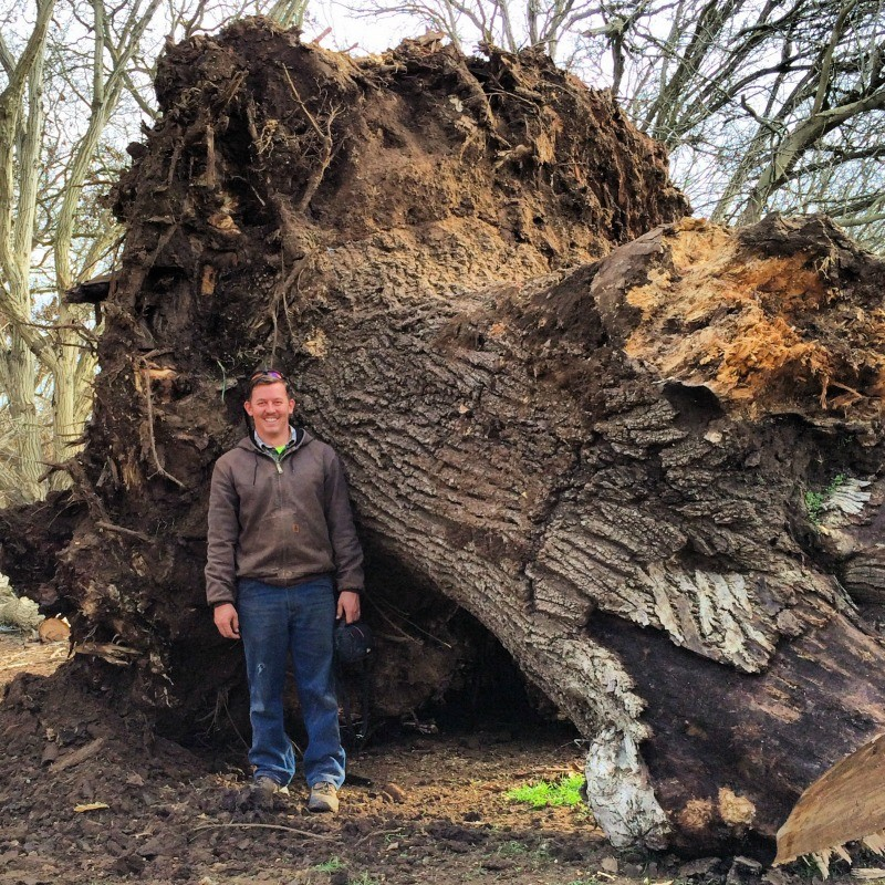 this tree stood as an icon for over 100 years it was part of an old grafted englishblack walnut orchard and was one of the largest orchard trees in the black walnut tree trunk