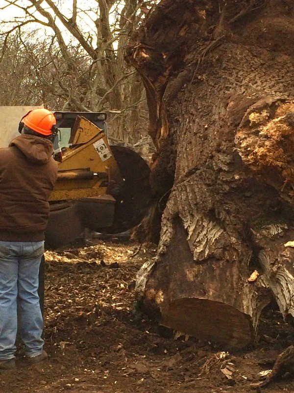 Saving A Huge California Grafted Black English Walnut