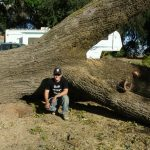 Salvaging a Large Dying California Black Walnut Tree