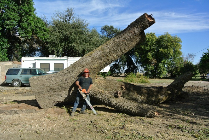 Salvaging a large dying california black walnut tree - Tell tree dying order save ...