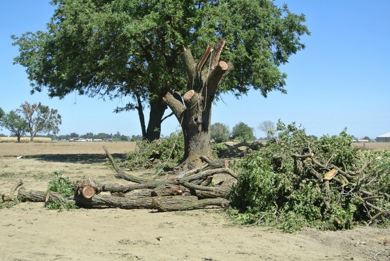 Salvaging A Huge California Black Walnut Tree Salvaging