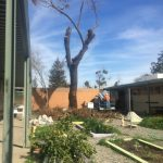 Saving 2 Hazardous Black Walnut Trees From an Elementary School