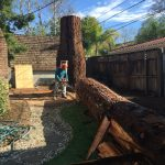 Salvaging a large Redwood tree from the famous Sacramento fab 40's neighborhood