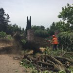 Salvaging 3 dead California Black Walnut Trees