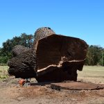 Salvaging a Huge Hazardous Black Walnut Tree Planted in 1866
