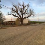 Salvaging Large Claro Walnut Trees from an Old Homestead