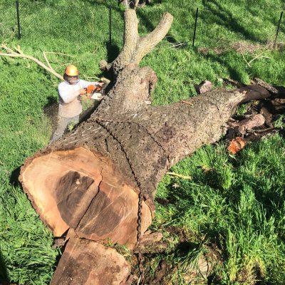 Salvaging 3 Dead Bastogne and Claro Walnut Trees from Davis, Ca