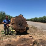 Salvaging a row of Huge Dead and Dying Claro Walnut Trees